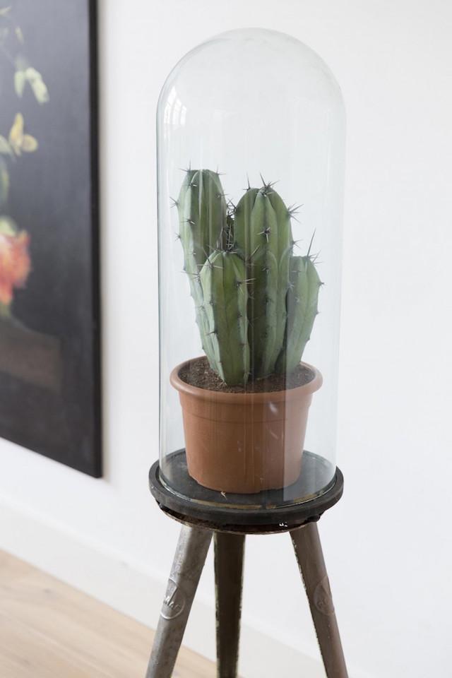 3-cactus-glazen-stolp