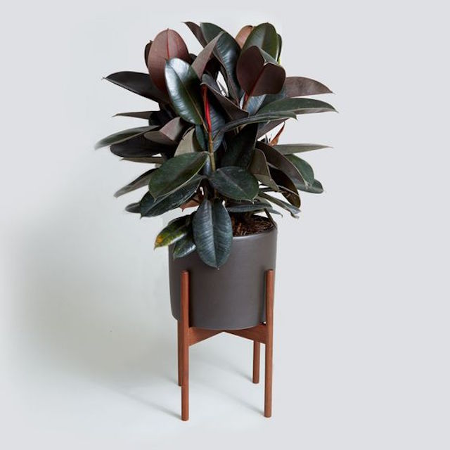 home inspiration: THE NEW 'IT' HOUSEPLANT 3
