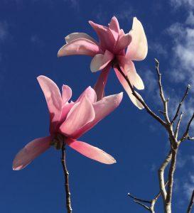 mops magnolia 2